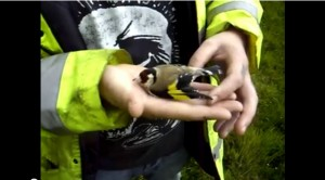 Land Surveyor and an injured Goldfinch Video